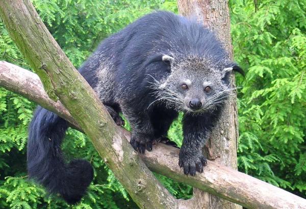 """Binturong (gatto orsino) – Gli jahai della Malesia per descrivere il suo odore usano il termine """"itpit"""""""