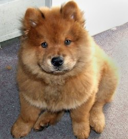 Small Of Husky Chow Mix