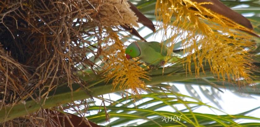 Cotorra de Kramer (Psittacula krameri). Cartagena.