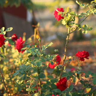 Fall Roses in Bloom