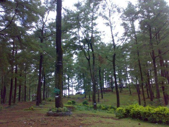 Hutan Pinus di Malino