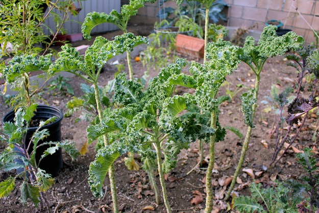 growing kale plants