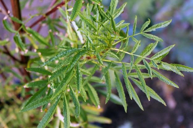 growing persian mint