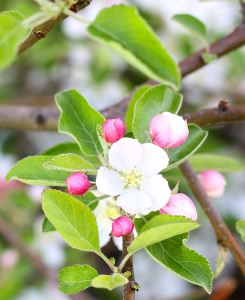 close up apple blossom2