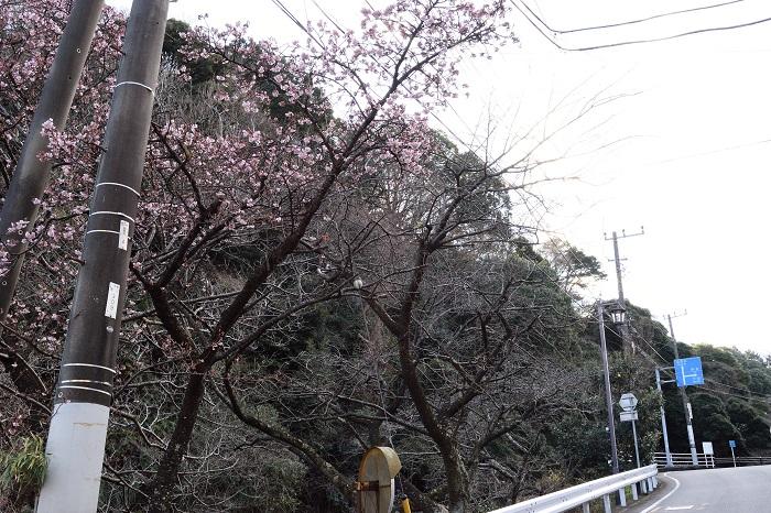 atami_hikanzakura_1
