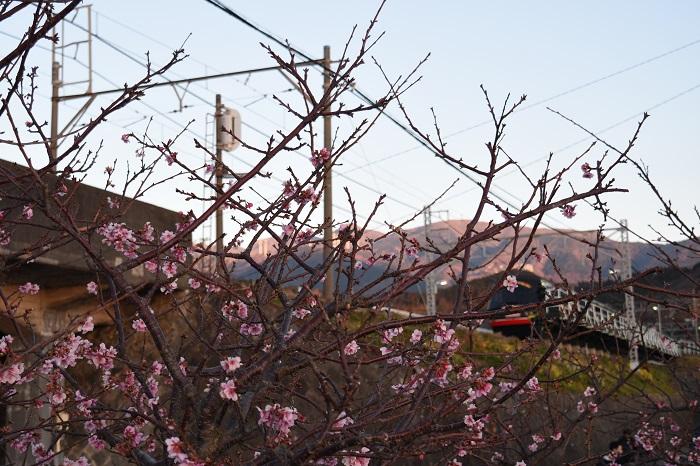 CherryBlossoms_KurofuneTrain