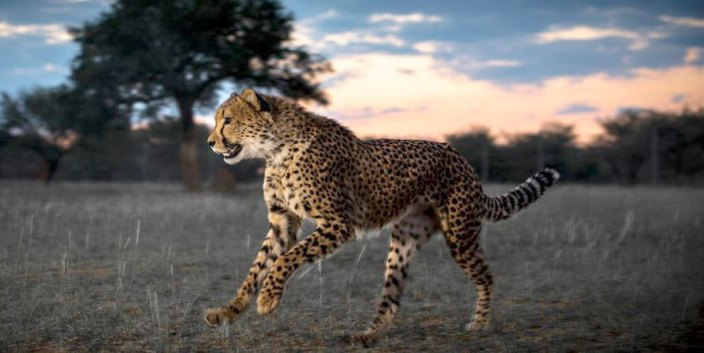 Young Cheetah in Conservation