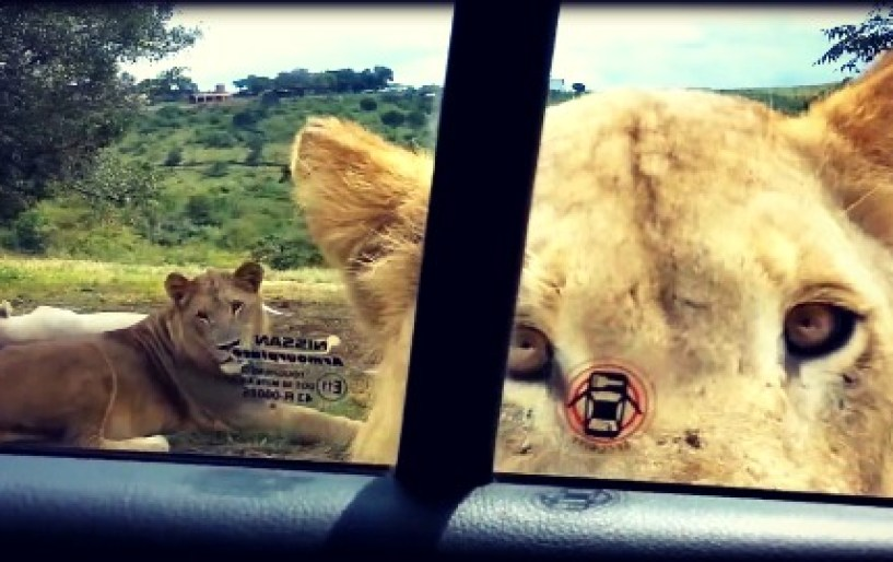 Τα λιοντάρια ανοίγουν και πόρτες αυτοκινήτων