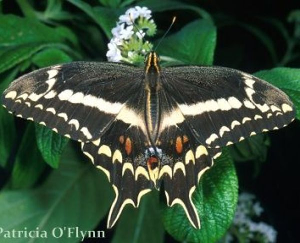 Schaus Swallowtail USFWS