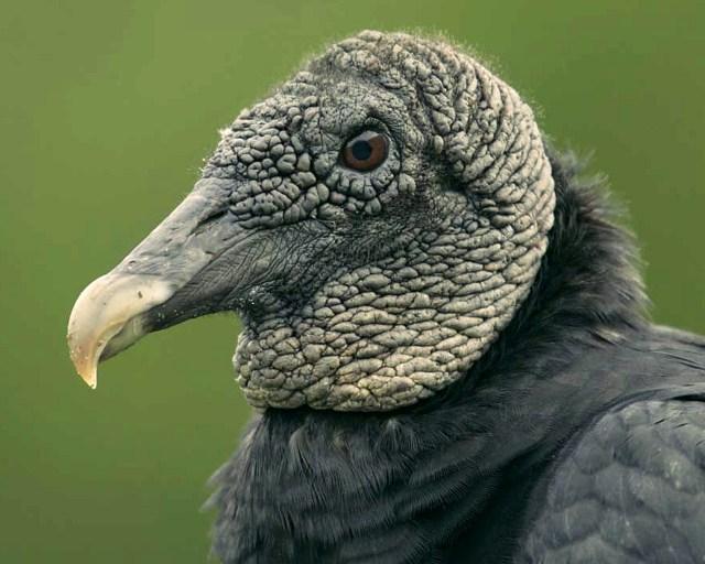 black_vulture__fotor