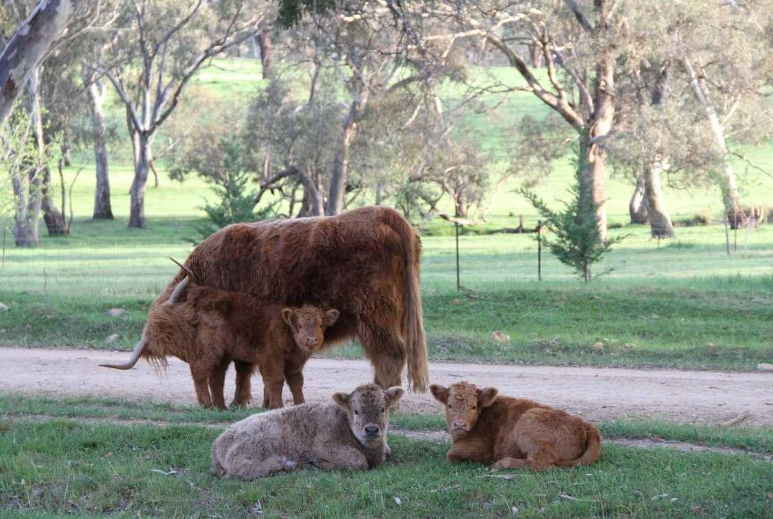 Ennerdale Highland Cattle - Scottish names for your calves