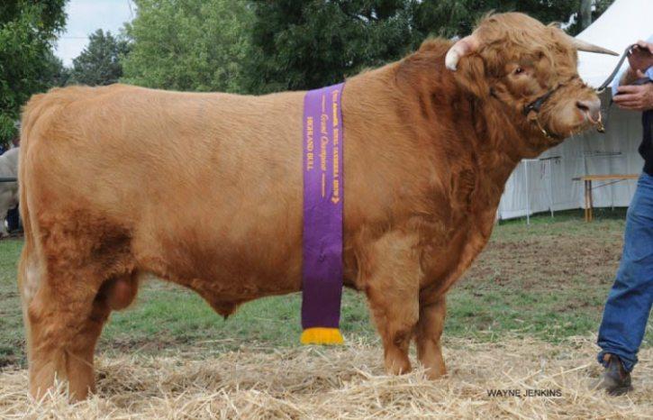 Ennerdale Highland Cattle - Artificial Insemination