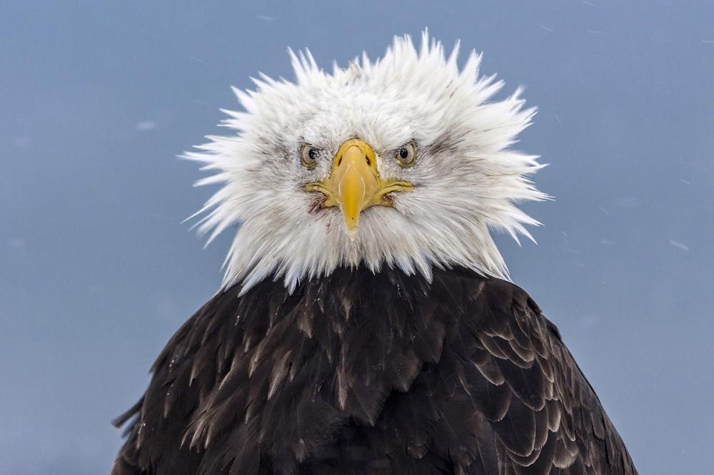 vultur america