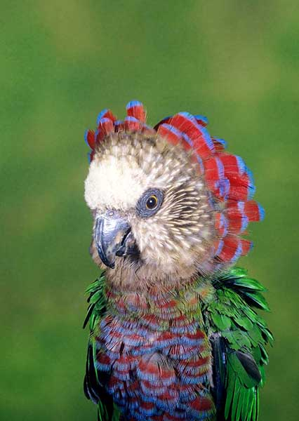 5331 Hawk-headed Parrot - PREVIEW ONLY