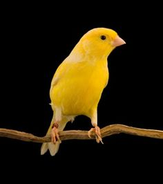 Yellow German Roller Canary