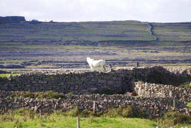 Aran Islands Horse