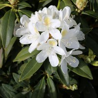 Rhododendron-Chionoides-Nov-2014
