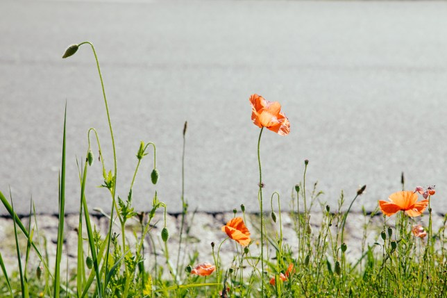 greens and poppies-4