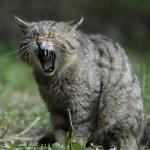 wildcat-356805_960_720_edited