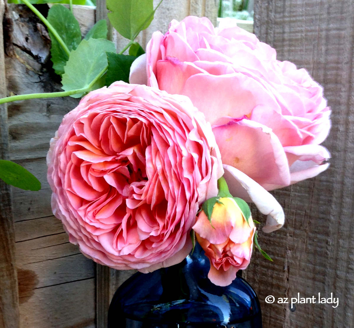 Fullsize Of Abraham Darby Rose