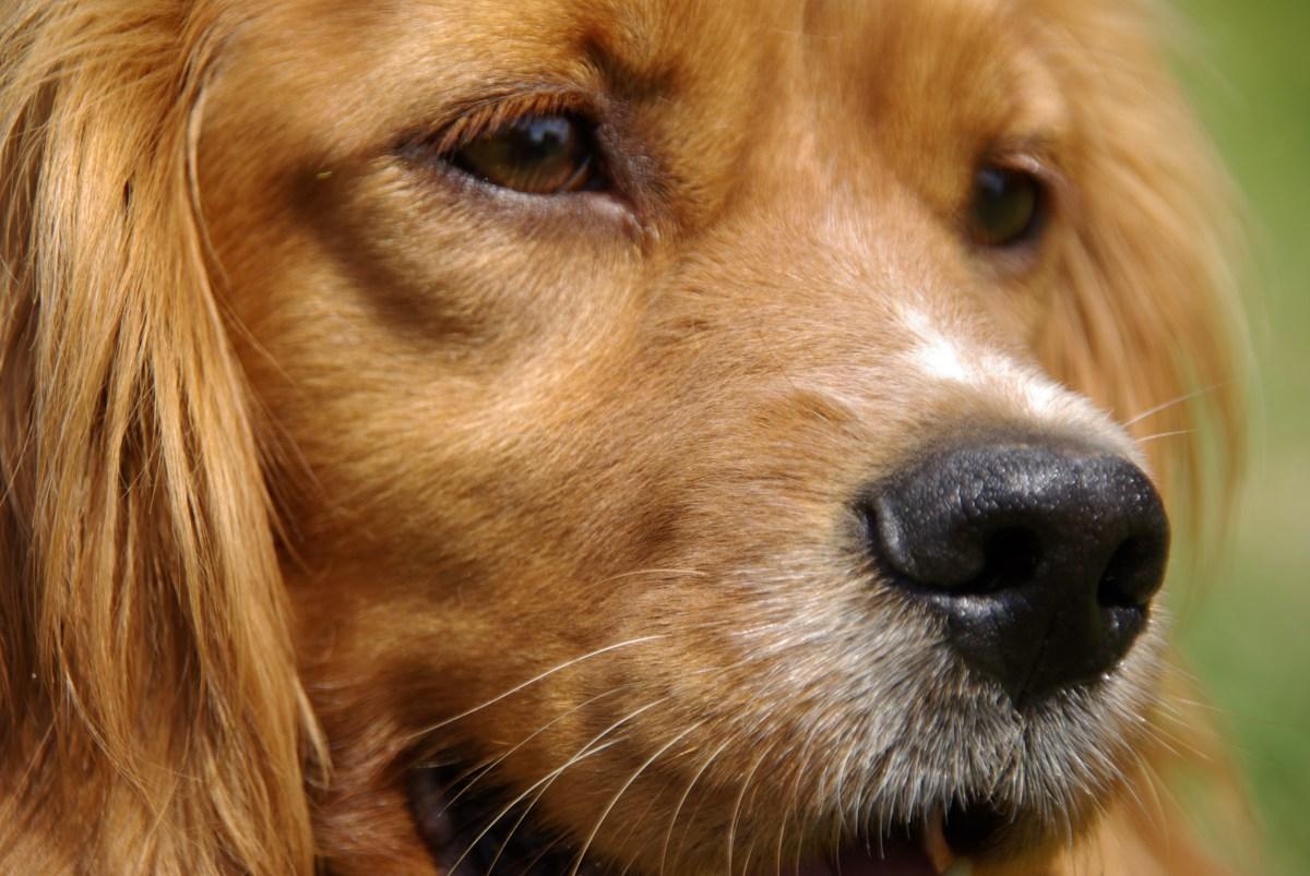 <!--:nl-->Bretonse Spaniel<!--:--><!--:en-->Bretonse Spaniel<!--:--><!--:fr-->Bretonse Spaniel<!--:-->