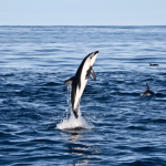 kaikoura dolphin watching nz 150x150 Travel Photo Of The Week   Skiing In Flims