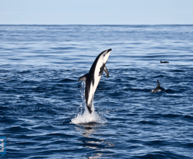 kaikoura-dolphin-watching-nz