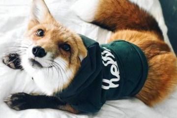 cute dog fox in a green shirt