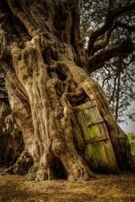 Crowhurst Yew