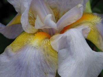 Patrick O'Meara - Yellow-Mauve Iris