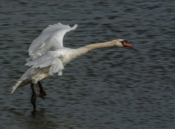 mute-swan-landing-tony-curd-2016