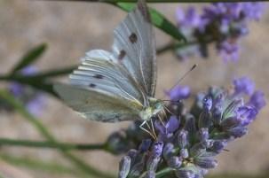 fran-moth on lavender