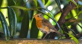 fran-resting robin