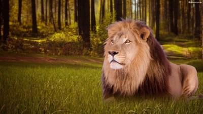 Lion Best Wallpaper 30712 - Baltana