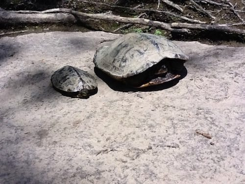 The female map turtle is much bigger than the male. Photo via Towson University.