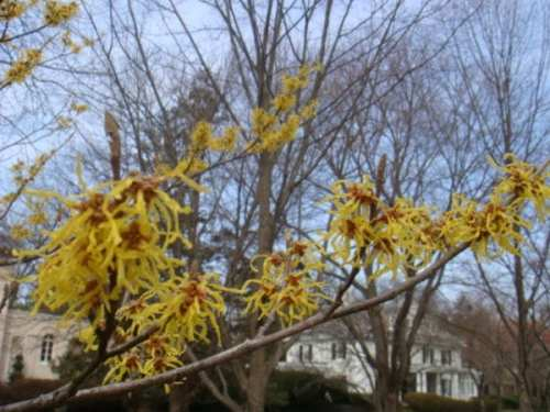 witch hazel branch