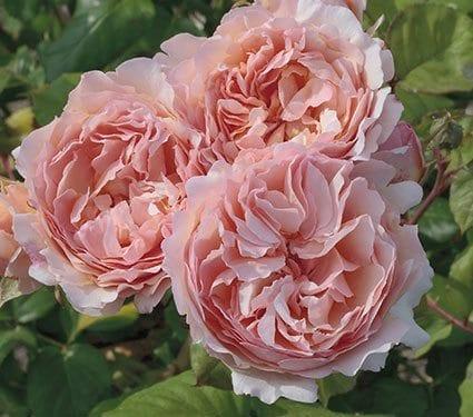 PC Rose