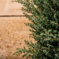 Small Of Gold Cone Juniper