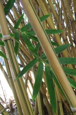 Especial Alphonse Karr Bamboo Land Nursery Qld Australia Bambusa Multiplex Alphonse Karr Bamboo Land Nursery Qld Australia Alphonse Karr Bamboo Wikipedia Alphonse Karr Bamboo Price