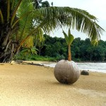 Palma kokosowa – wyhoduj z orzecha