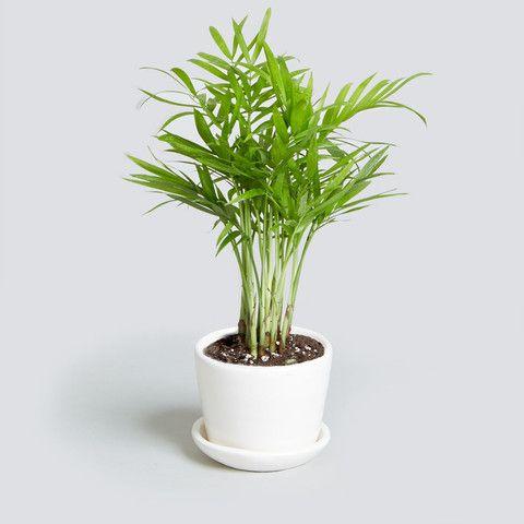 rośliny do biura palma chamaedorea