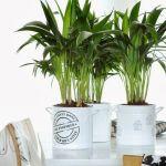 Palma kencja (Howea) – wszystko, co musisz wiedzieć o jej uprawie