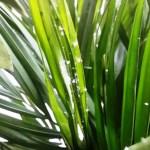Recepty na szkodniki palm