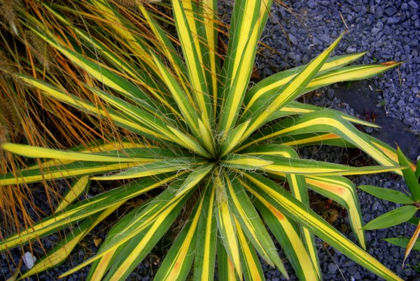 Juka karolińska (Yucca filamentosa) 'Color Guard'