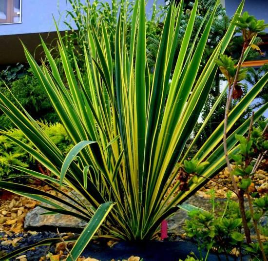 Juka karolińska (Yucca filamentosa) 'Bright Edge'