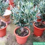 Uprawa oliwki w doniczce