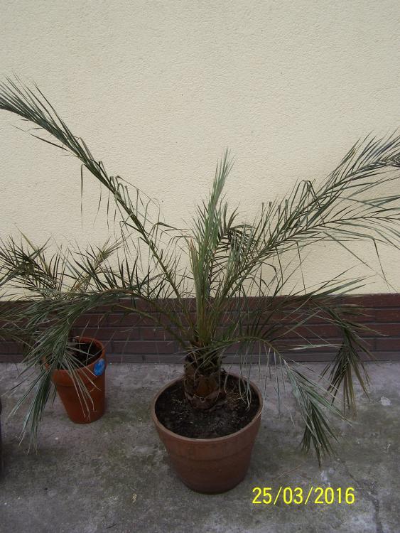 jak-nie-zimowac-palmy-daktylowiec-kanaryjski