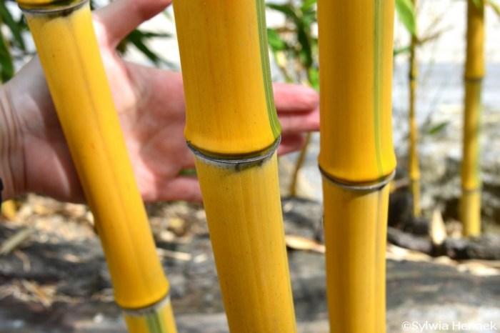 Bambus-fylostachys-zlotobruzdowy-spectabilis-zoo-gruby_mini