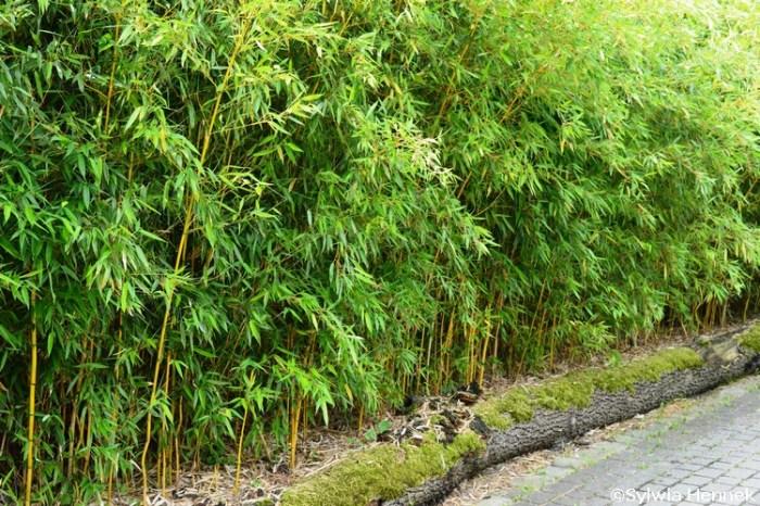 bambus-ogrodowy-zoo-opole-fylostachys-spectabilis-zywoplot_mini