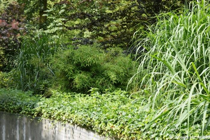 fargesia-parasolowata-bambus-zoo-opole_mini